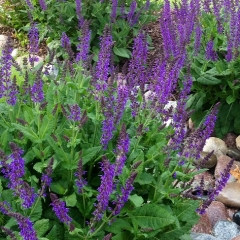 """May Night Salvia • <a style=""""font-size:0.8em;"""" href=""""http://www.flickr.com/photos/63612657@N05/14357420051/"""" target=""""_blank"""">View on Flickr</a>"""