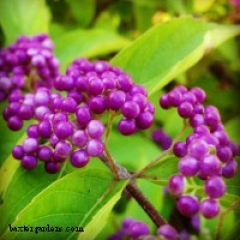 "Beautyberry • <a style=""font-size:0.8em;"" href=""http://www.flickr.com/photos/63612657@N05/11070567005/"" target=""_blank"">View on Flickr</a>"