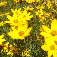 "Zagreb Coreopsis • <a style=""font-size:0.8em;"" href=""http://www.flickr.com/photos/63612657@N05/13999499450/"" target=""_blank"">View on Flickr</a>"