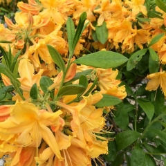 "Golden Lights Deciduous Azalea • <a style=""font-size:0.8em;"" href=""http://www.flickr.com/photos/63612657@N05/14144334652/"" target=""_blank"">View on Flickr</a>"