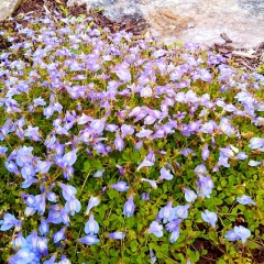 "Mazus reptans • <a style=""font-size:0.8em;"" href=""http://www.flickr.com/photos/63612657@N05/14186117814/"" target=""_blank"">View on Flickr</a>"