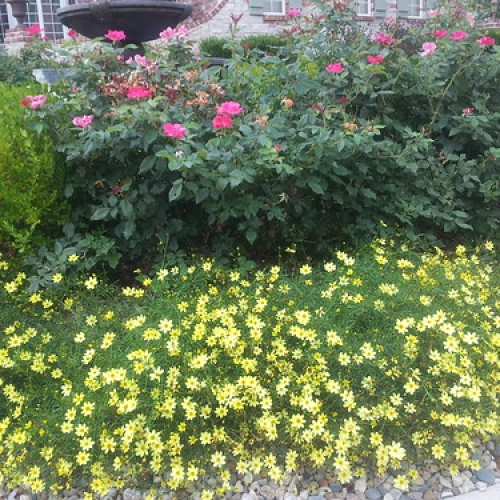 """Moonbeam Coreopsis, Knockout Rose • <a style=""""font-size:0.8em;"""" href=""""http://www.flickr.com/photos/63612657@N05/7516644752/"""" target=""""_blank"""">View on Flickr</a>"""