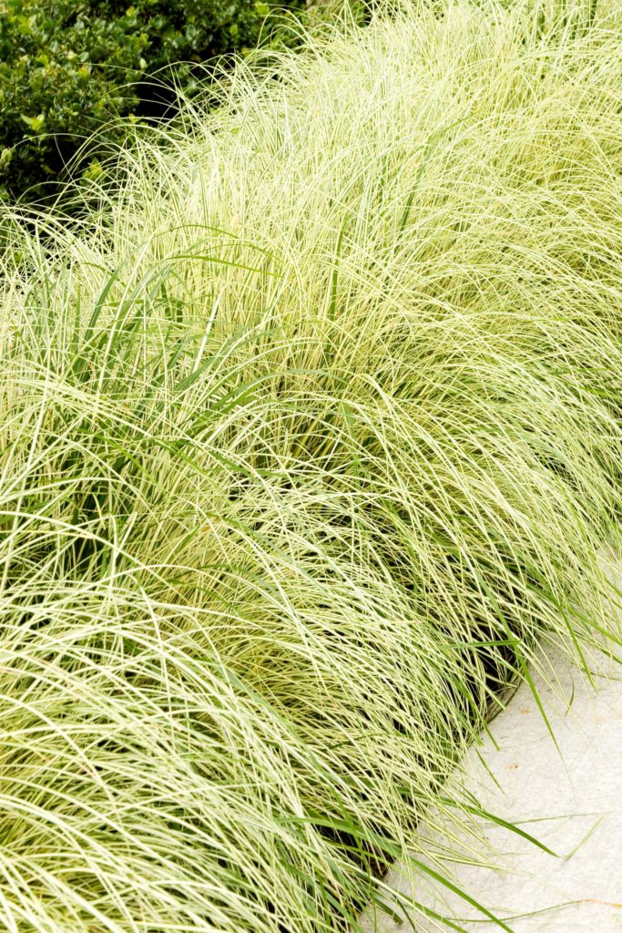 Cream and green variegated foliage on this low growing sedge.