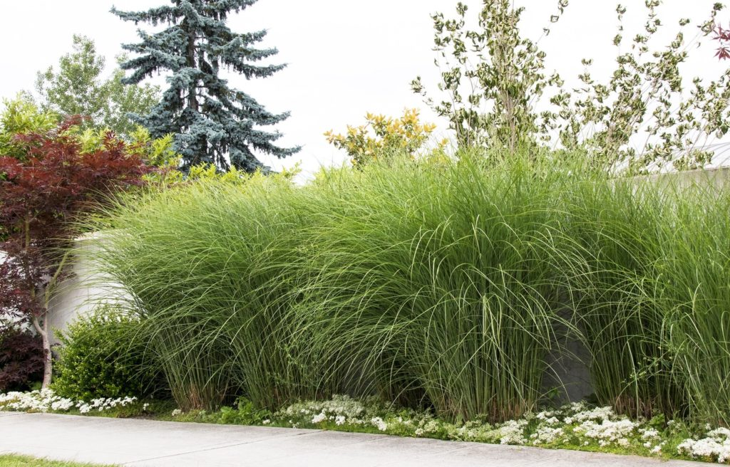 Tall, narrow-leaved, upright foliage of Maiden Grass against a white white.