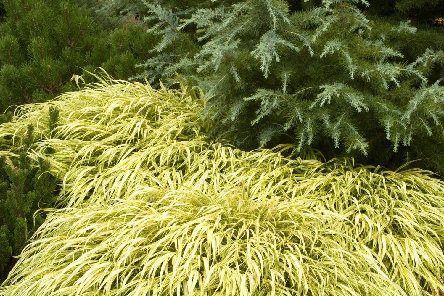Gold variegated dwarf grass for partial shade