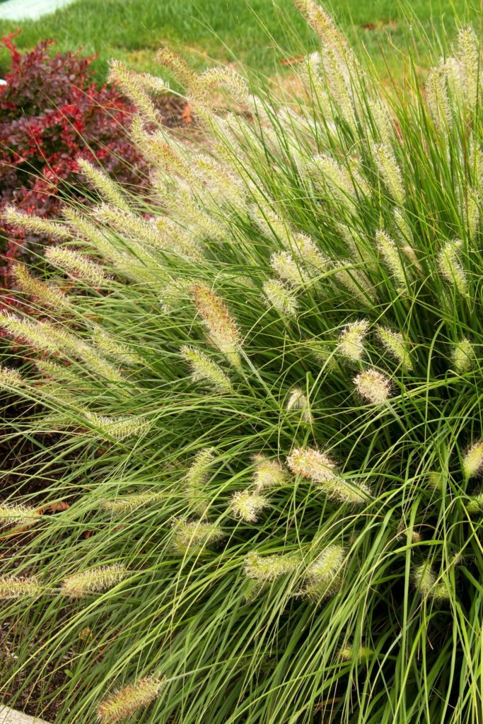 Cat-tail like blooms on low growing, narrow bladed Hameln Dwarf Fountain Grass
