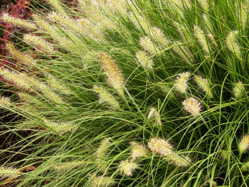 Dwarf green ornamental grass with cattail-like blooms