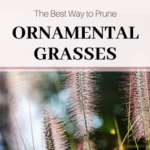 The best way to prune ornamental grasses