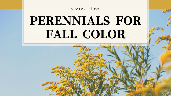 Yellow flowers of Goldenrod against a blue sky. 5-Must Have Perennials for Fall Color.