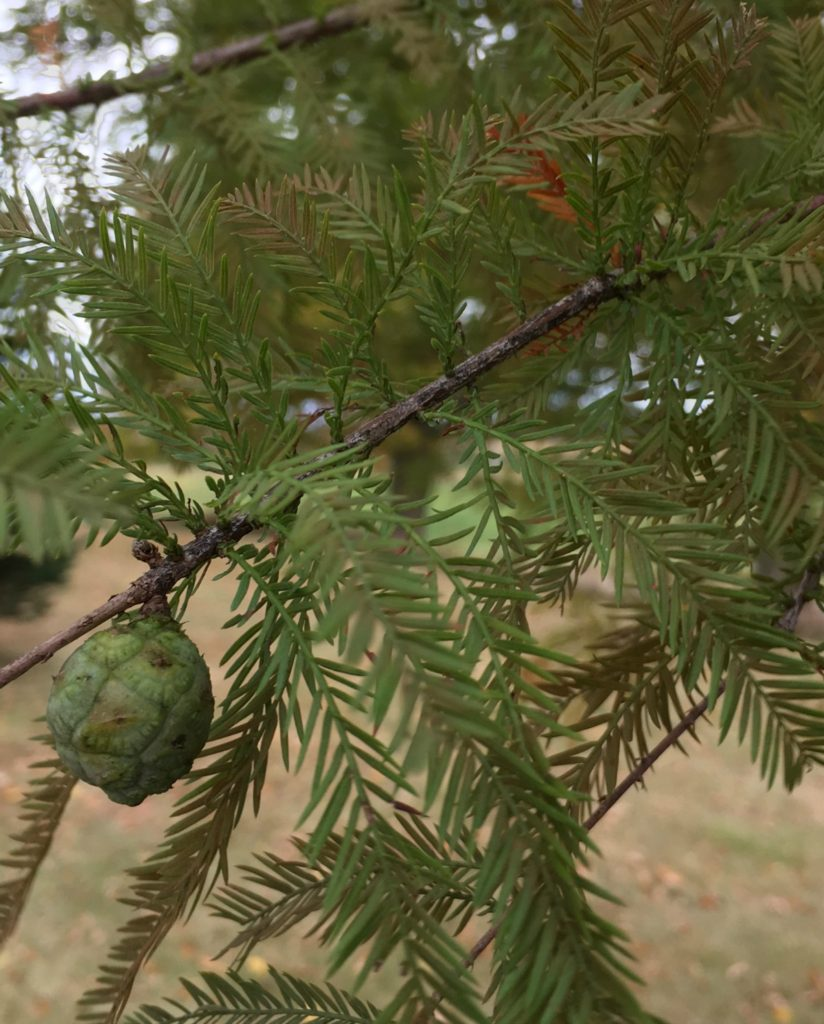 Feathery deciduous foliage of Bald Cypress on branch with cone.