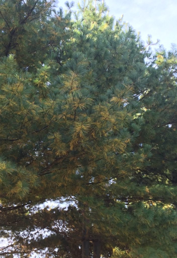 Yellow needles shedding in fall on white pine.