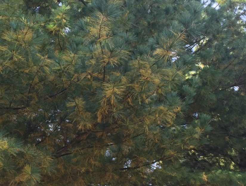 White Pine fall needle drop.