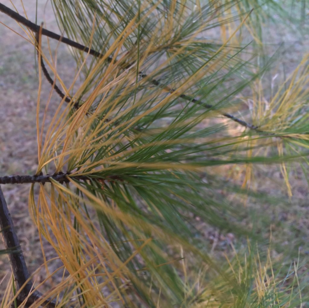 Straw colored needles on the inner branches of a White PIne with healthy green foliage at the end of the branches.