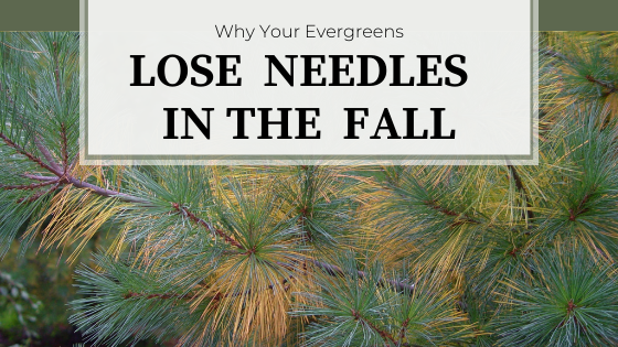 White Pine experiencing fall needle drop.  Why Your Evergreens Lose Needles in the Fall.