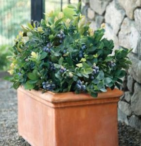 mirabella_in_pot__page_image