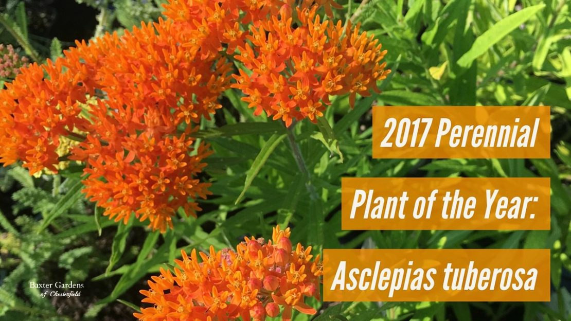 2017 Perennial Plant of the Year: Asclepias tuberosa