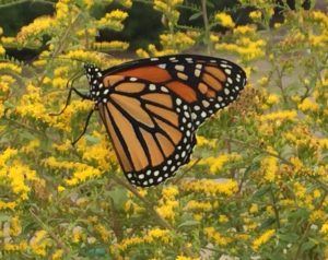 Monarch Butterfly on 'Fireworks' Solidago