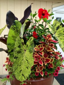Hibiscus, Canna, Elephant Ear, Coleus, and Calibrachoa
