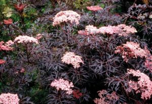 Black Lace Sambucus