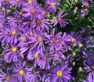 Plant asters and other fall flowering perennials in your fall containers.