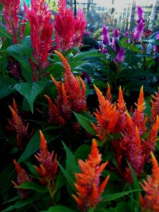 Plant celosia in your fall containers