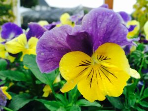 Brighten a fall container combination with pansies.