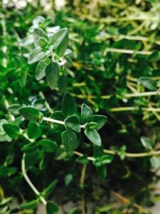 Plant thyme to store for winter use