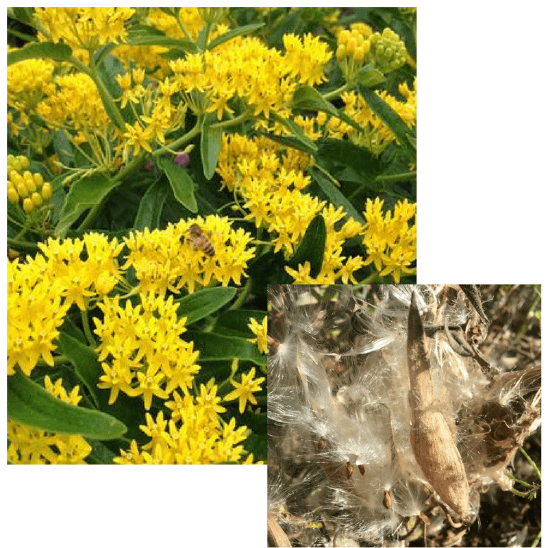Green plant covered with yellow flowers and bee. Open seed pod with fluffy seeds.