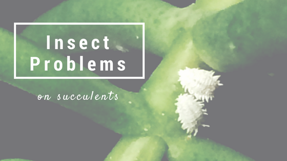 How to spot and treat insect problems on succulents.