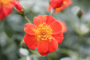 Oso Easy roses are a smaller alternative to Knock Out Roses