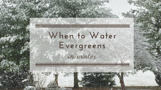 Watering in winter.