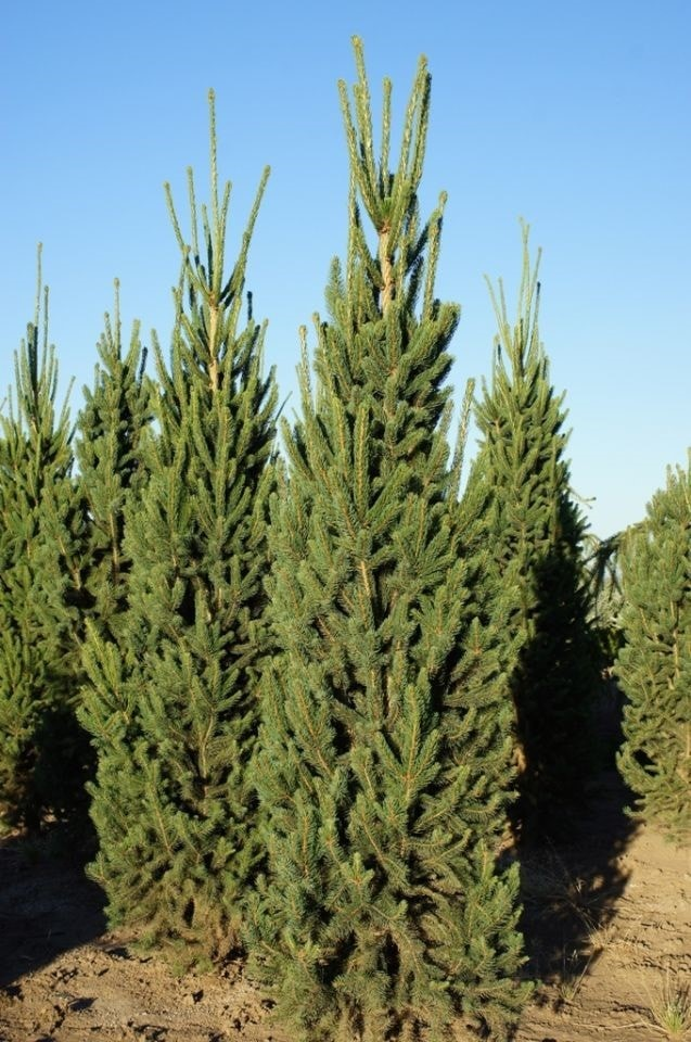 Small columnar evergreen trees garden design ideas for Columnar evergreen trees for small gardens