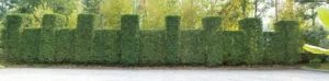 Columnar Hornbeam create a dense screen.