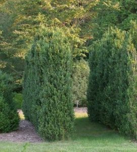 Boxwood are easy to prune.