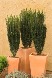 Dark, glossy leaves cover this evergreen