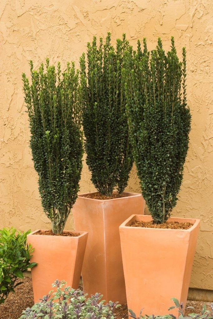 Columnar evergreens planted in square terra cotta planters against a terra cotta colored wall.