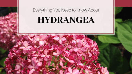 Everything you need to know about hydrangea