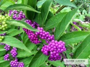Purple berries cover Beautyberry in the fall.