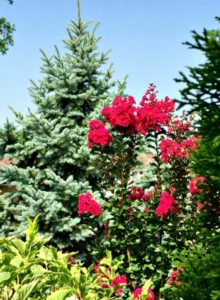 Spruce creates a backdrop for flowering shrubs.