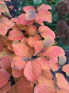 Fothergilla shows off in the fall garden with autumnal hues.