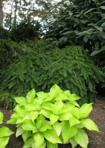 Lime green hydrangea stand out in a forest of evergreen.
