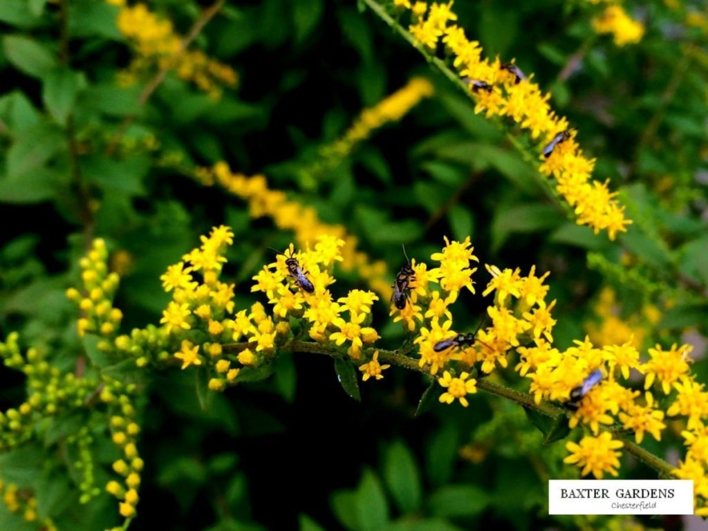 Close up flower of Fireworks Goldenrod covered with pollinators.