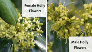 Yes, you can tell the difference between male and female holly flowers.