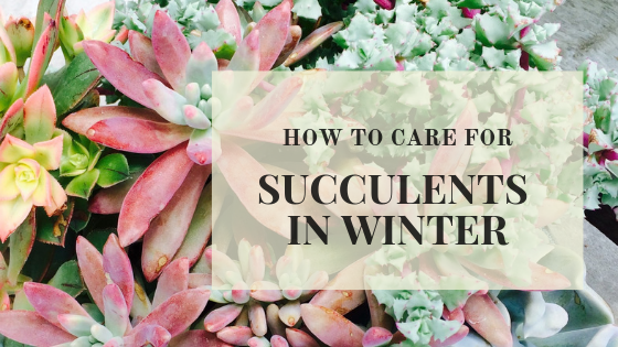 Should I water my succulent in winter?