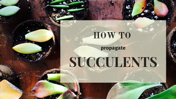 Is it easy to propagate succulents?