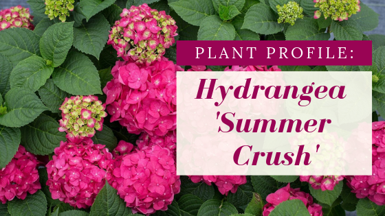 Bright pink flowers on shiny dark green foliage. Plant Profile: Hydrangea 'Summer Crush'.