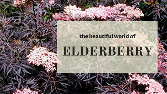 What are elderberry?