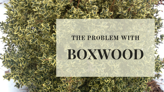 What is wrong with my Boxwood