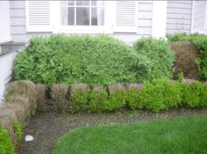 Boxwood blight in the United States
