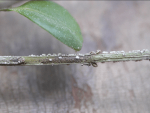 What are the symptoms of boxwood blight